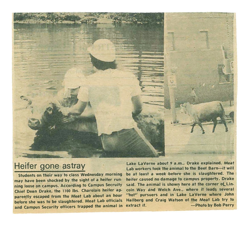 lake-la-verne-heifer